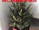 云杉圣诞树 云杉盆景 辽宁云杉基地 真圣诞树 鲜活圣诞树