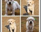 名犬出售精品阿拉斯加幼犬 疫苗驱虫均做 签协议包健康纯种保障