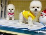 东莞 本地出售博美幼犬狗狗包健康纯种售后无忧