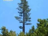 美化基站树,江南园艺阻燃松树,信号塔通讯树定做工厂
