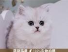 出售自家繁殖 加菲猫 折耳猫 公母均有 可上门挑选