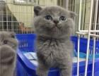 广州买蓝猫到哪里好 家养蓝猫健康有保障