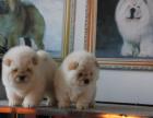 中国较大双血统松狮繁殖基地 可实地考察