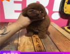 哪里有泰迪犬出售多少钱,泰迪的照片