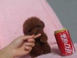 出售活潑友善的泰迪熊 擁有華麗色澤亮麗