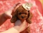 纯种极品玩具泰迪熊幼犬公母幼犬都有可签协议欢迎上门