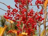 哪里有红巴伦海棠,优质艾瑞斯海棠销售,绚丽海棠销售,凯达苗木