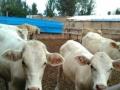 万头肉牛犊 德州驴 出售加盟 种植养殖