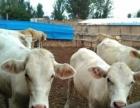 大量出售;毛驴苗 德州驴 西门塔尔牛 肉牛犊