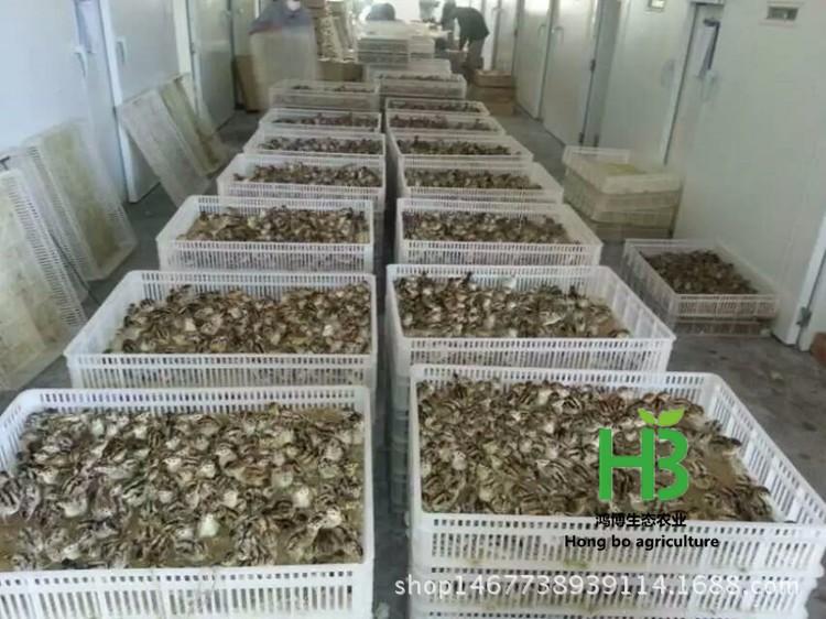 成年野鸡的价格 出售成年野鸡 养殖成年野鸡
