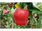 苹果苗找一边倒果树苗木_品种优良——红肉苹果苗繁育基地