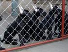 全国连锁双血统大丹犬繁殖基地 本地可上门