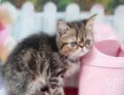 自家繁育的加菲猫低价转让