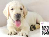 纯种拉布拉多狗狗出售