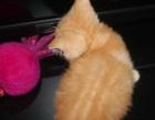 家养英国短毛猫纯种英短蓝白正八字蓝猫三花都有