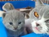 自家繁育英短蓝猫,正八蓝白英短,可以预订了 可见猫父母