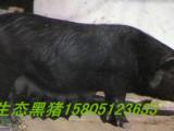 苏太母猪多少钱一头 哪里有苏太母猪出售