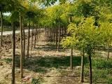 品种好的金枝槐上哪买,优质的金枝槐