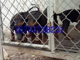 甘肃临夏莱州红犬多少钱,哪里有莱州红犬出售,怎么驯养莱州红犬