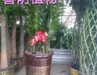 广州增城哪有卖福禄寿大叶绿萝适合放办公室的植物全城送货上门
