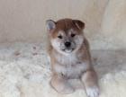 西安纯种柴犬价格 西安哪里能买到纯种柴犬