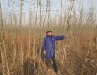 郑州市绿化苗木:海棠 金叶复叶槭 国槐小苗 果桑