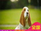 赛级纯种巴吉度犬 杜绝星期狗 签协议包纯种 包退换
