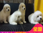 哪里有卖大白熊犬大白熊犬多少钱 支持全国发货