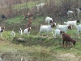 西峡县波尔山羊种羊场供种 镇平黑山羊养殖