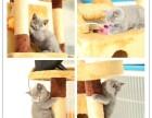 英短蓝猫 活波可爱 家庭式繁殖 无病无癣