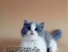 上海嘉定区 家养猫舍出售蓝白蓝猫渐层 金吉拉猫布偶