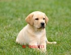 哪里出售纯种拉布拉多幼犬需要的电话咨询