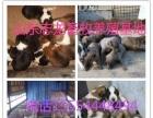 批发出售小狗崽 肉食狗加盟 种植养殖