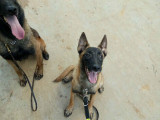 马犬价格及图片 哪里有卖马犬的 马犬幼犬是多少钱