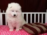 成都狗狗之家长期出售高品质 萨摩耶 健康质保