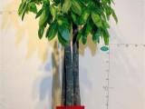 苏州开业乔迁新居房绿植发财树批发便宜配送-养殖基地直销