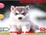 火热直销哈士奇西伯利亚雪橇犬 冠军品质繁育 可上门挑选