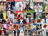 东莞狗场倒闭 300一个低价出售各种狗狗包健康纯种博美泰迪