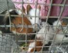 自家繁殖豚鼠宠物
