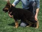 锤系德牧幼犬纯种活体狼狗赛级德国黑贝德国牧羊犬警犬大型犬家养