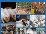 邦恒特种动物复合菌适用于多种牲畜家禽调理肠胃提高活