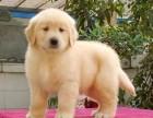 江门哪里有卖宠物狗纯种金毛犬价格多少金毛幼犬价钱多少