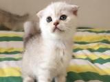 苏格兰折耳猫无病无癣无耳螨健康小猫
