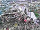 百年刺槐树根