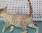 纯种孟加拉豹猫雪豹