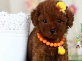 纯种健康的贵宾犬多少钱一只在哪能买到
