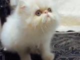 自家繁育加菲猫幼崽四只,干净无任何疾病健康活泼