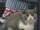 折耳猫纯种折耳猫幼猫苏格兰折耳猫宠物折耳猫活体折耳