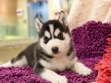 海口出售 哈士奇幼犬 保证纯种健康 签订活体协议