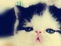 萌宠乐园出售纯种波斯猫 无病 无癣 协议质保